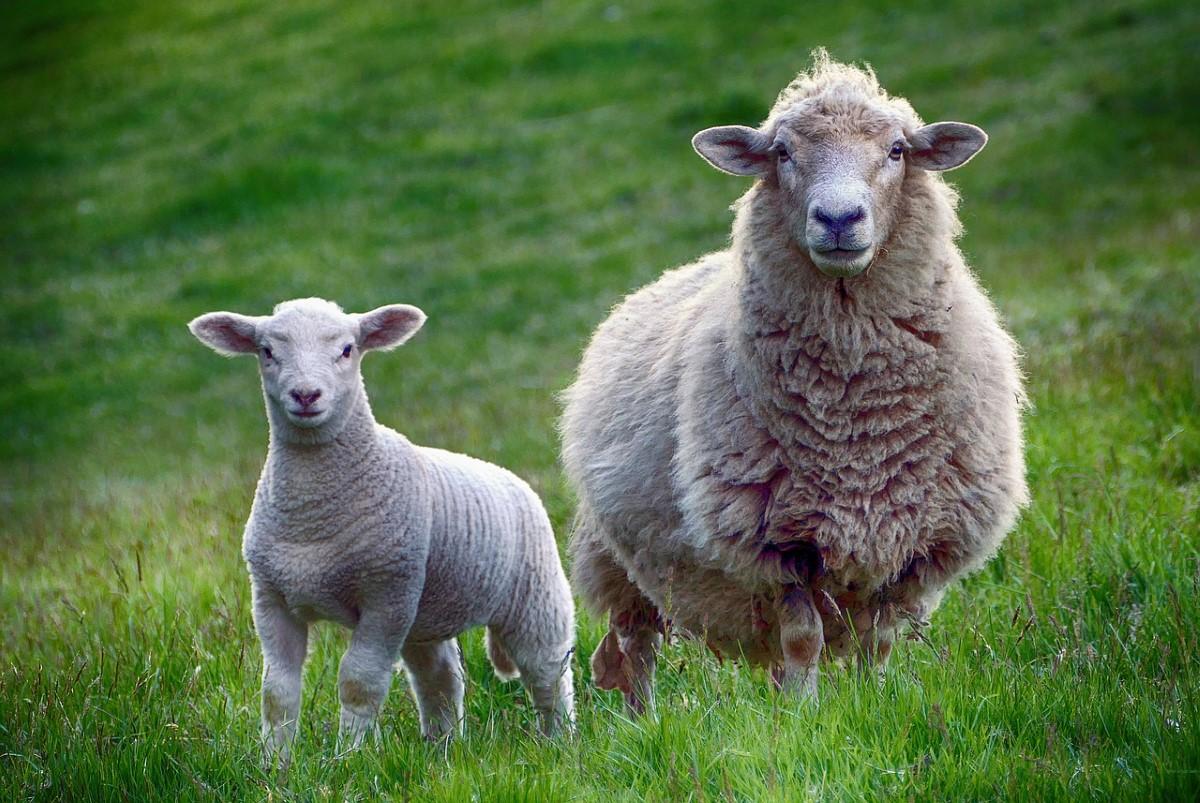 Lammetje met moeder