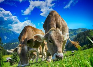 Koeien fotograferen