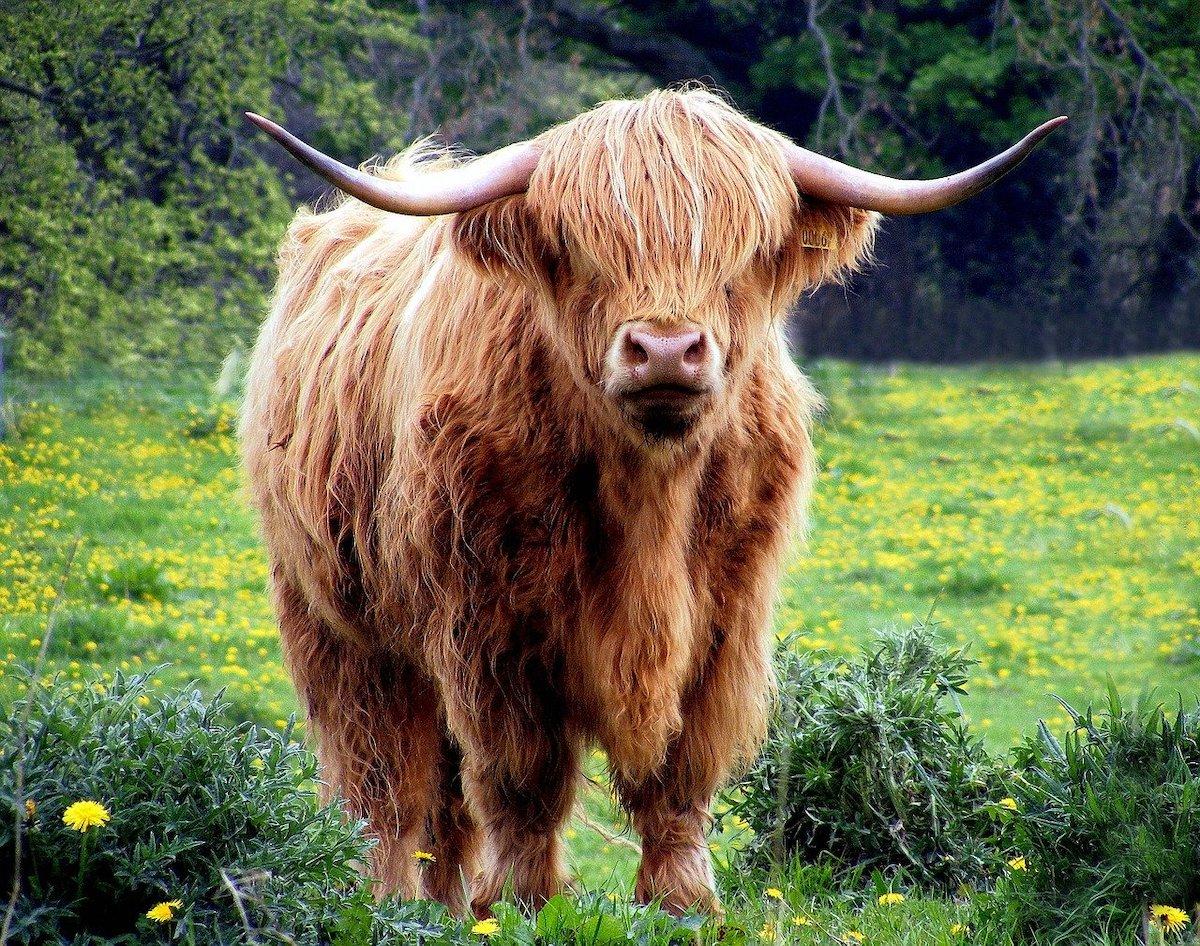 Schotse Hooglanders fotograferen