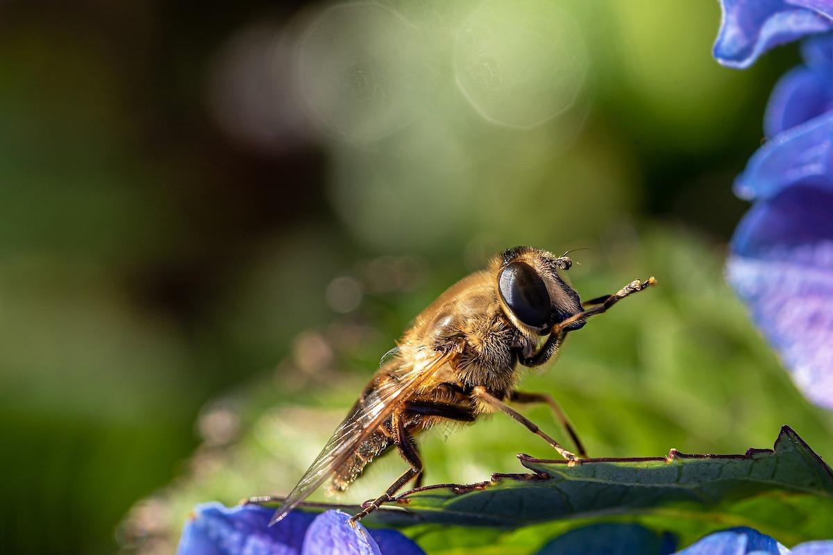 wilde bijen fotograferen