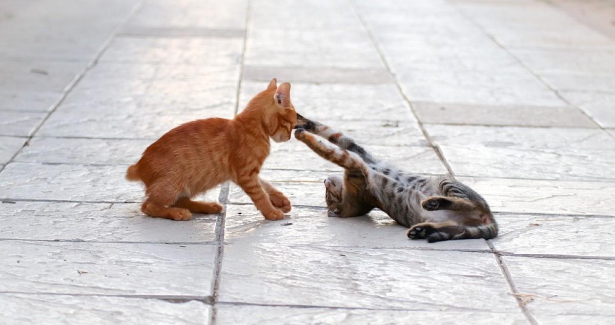 Spelende kittens