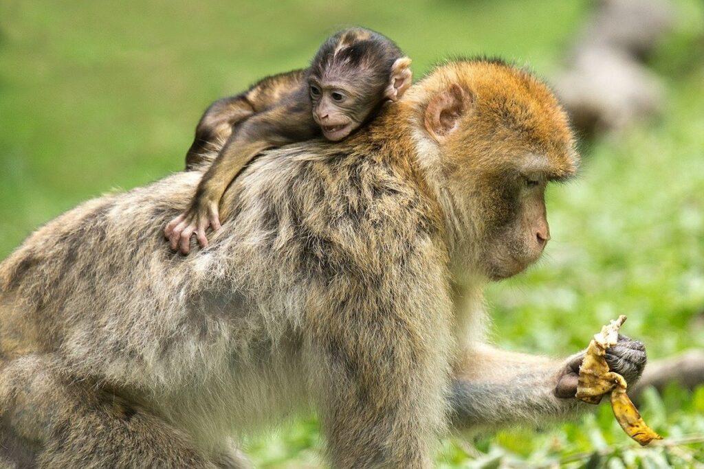Voedertijd aap