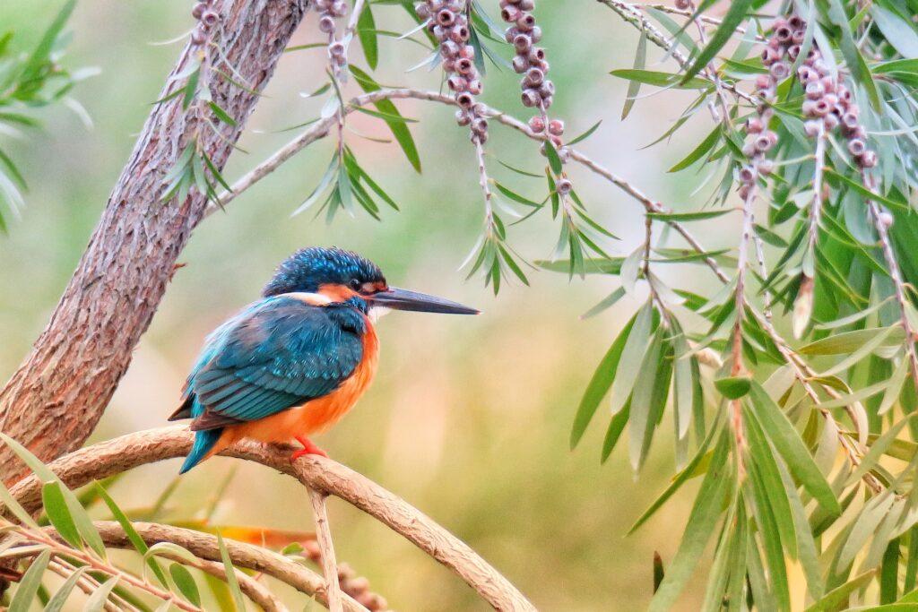 IJsvogel op een tak