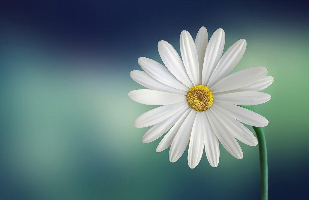 Witte Margriet